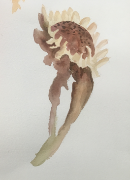 secondary colour sunflower